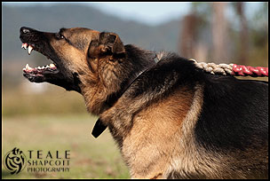 German Shepherd Dog Obedience / Protection Training :: Teale Shapcott Photography