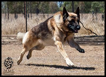 protection-dog-buddie