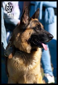 German Shepherd Dog 'Buddie' :: Teale Shapcott Photography