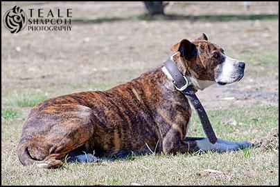 Aylwards-Brinny-Personal-Protection-Dog-Bull-Arab