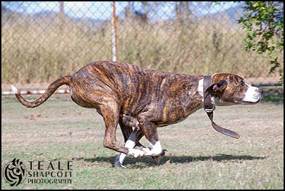 Bull Arab dog demonstrating advanced obedience & protection training. Photo by Teale Shapcott