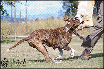 Aylwards-Brinny-Personal-Protection-Dog-Bull-Arab