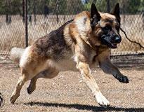 Protection Dog Profile – Buddie
