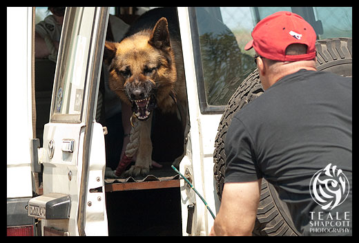 Protection dogs are trained to protect their owners property and person.