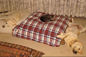 Funny Video of Cats stealing the Dogs Bed