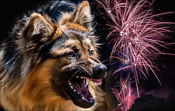 Dogs do not like fireworks. Photo © Teale Shapcott & Aylwards Dog School